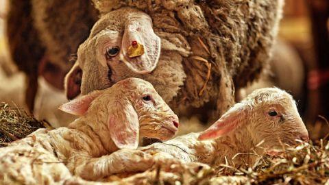 Kleine Lämmchen werden liebevoll von ihrer Mutter umsorgt